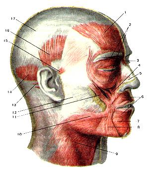 Мышцы головы 107