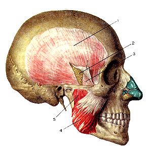 Мышцы головы 108