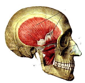 Мышцы головы 109