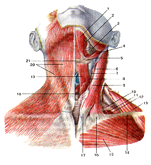 Мышцы шеи 110