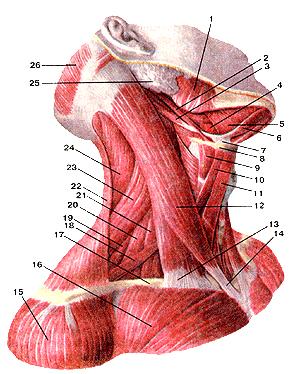 Мышцы шеи 111