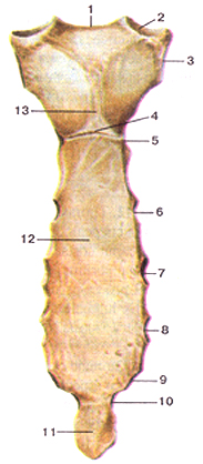 Кости туловища 13