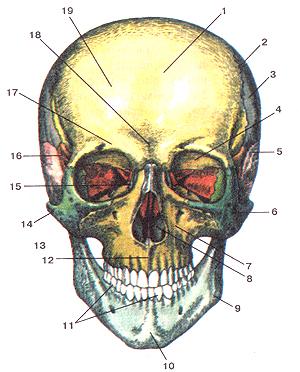 Кости черепа - Страница 2 15