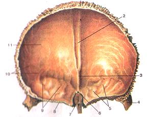 Кости черепа 18