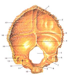 Кости черепа 21