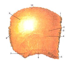 Кости черепа 23