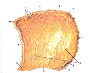 Кости черепа 24