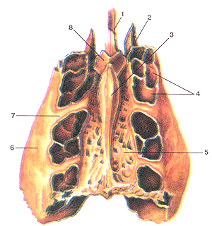Кости черепа 26