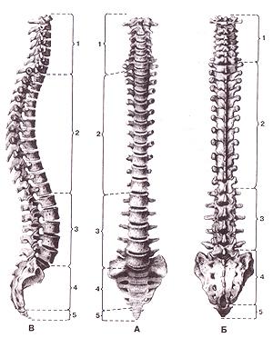Кости туловища 3