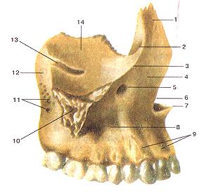 Кости черепа 31