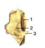 Кости черепа 37