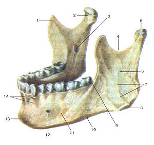 Кости черепа 39