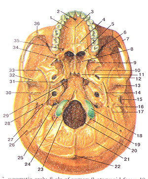 Кости черепа - Страница 2 41