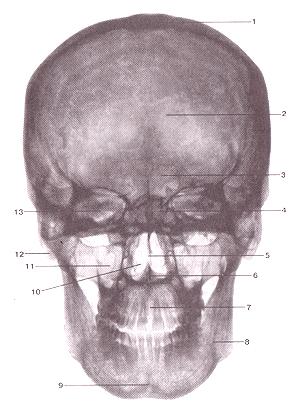 Кости черепа - Страница 2 49