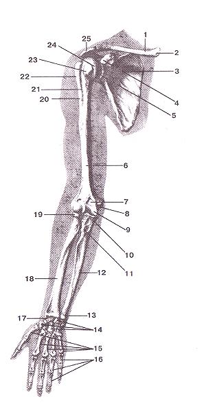 Кости верхних конечностей 50