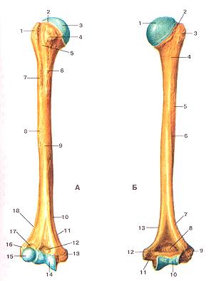 Кости верхних конечностей 53