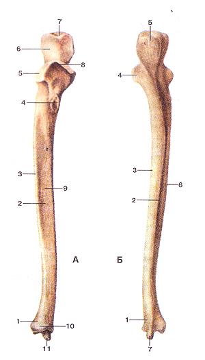 Кости верхних конечностей 54