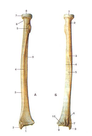 Кости верхних конечностей 55