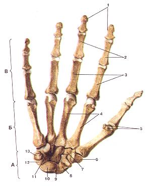 Кости верхних конечностей 56