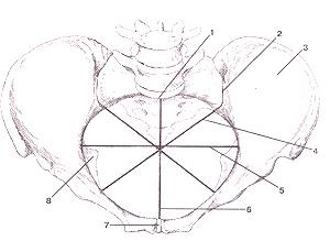 Кости нижних конечностей 62