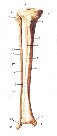 Кости нижних конечностей 65