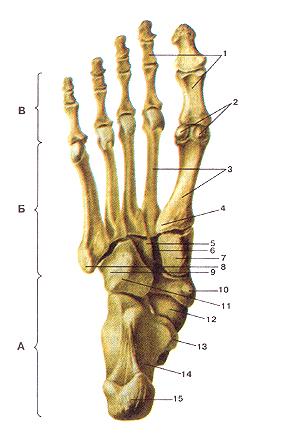 Кости нижних конечностей 68