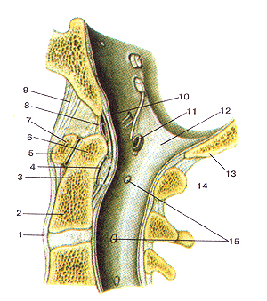 Соединения костей туловища 72