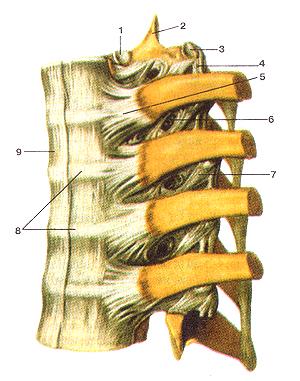 Соединения костей туловища 74
