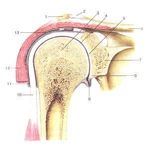 Соединения костей верхней конечности 80