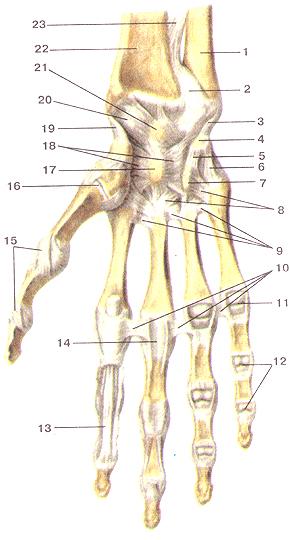 Соединения костей верхней конечности 83