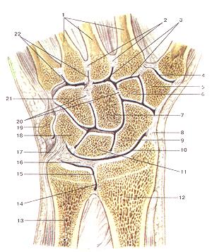 Соединения костей верхней конечности 84