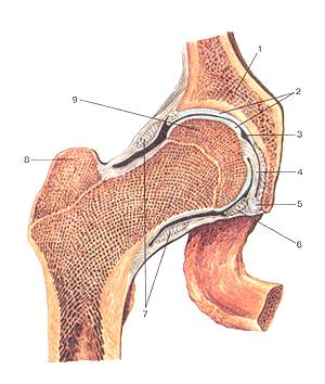 Соединения костей нижней конечности 88
