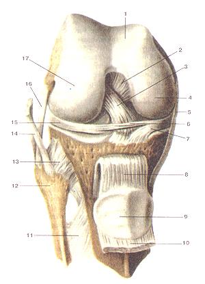 Соединения костей нижней конечности 91