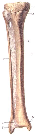 Соединения костей нижней конечности 94