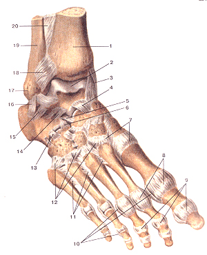 Соединения костей нижней конечности 95