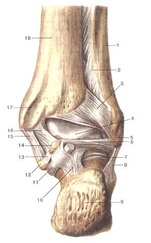 Соединения костей нижней конечности 96