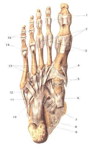 Соединения костей нижней конечности 97