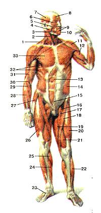 Мышцы тела человека 98