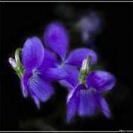 Язык цветов и их аромата Fialka42-150x150