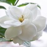 Язык цветов и их аромата Gardeniya3