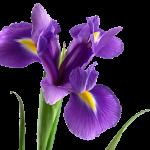 Язык цветов и их аромата Iris23-150x150