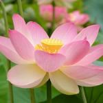 Язык цветов и их аромата Lotos22-150x150
