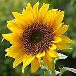 Язык цветов и их аромата Podsolnuh21
