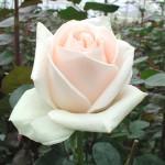 Язык цветов и их аромата Roza22-150x150