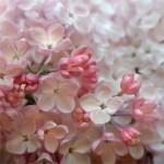 Язык цветов и их аромата Siren1-150x150
