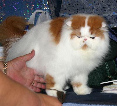 صور قطط جميلة PersianBiColor_RedWhiteWEcP_AP6C1665