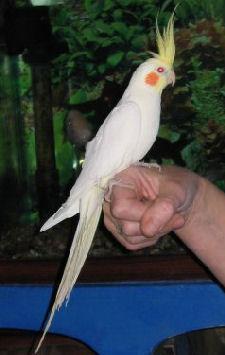 طيور الزينة LutinoWBK_C032