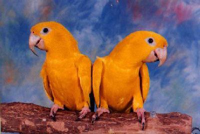 Retke vrste papagaja QueenBavariaWBCn_BootsBottomsWBPa_Ac3
