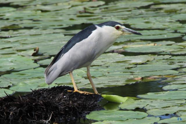 un oiseau - blucat - 19 août trouvé par ajonc - Page 2 Heron-bihoreau-6394