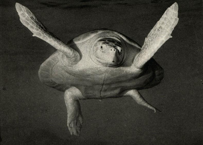 Энциклопедия - ЧЕРЕПАХИ. Виды черепах ( фото и описание ) Все о черепахах. Содержание. Разведение. Кормление.  000509
